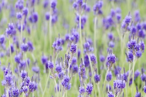 自然 植物 花 園芸 ガーデニング   栽培 草花 庭 庭造り 花壇  ガーデン ラベンダー ハーブ 香り 紫  パープル アップ 背景 テクスチャ 素材 一面 さわやか 爽やか ポプリ アロマテラピー 薬効 夏 花畑