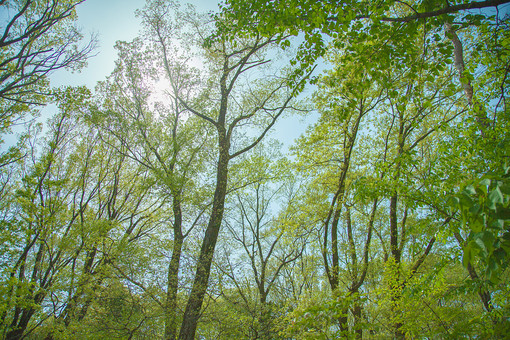 自然 植物 空 太陽 太陽光 光 陽射し 木漏れ日 青空 晴天 天気 晴れ 青い 木 樹木 幹 枝 葉 葉っぱ 緑 茶色 成長 育つ 伸びる 高い そびえる ローアングル アップ 密集 多い 集まる 沢山 並ぶ 無尽 室外 屋外 風景 景色