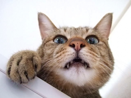 ネコ 猫 ねこ 顔 表情 猫の手 牙 愛猫 目を開けた 面白い おもしろい 鼻 大きな目 家猫 飼い猫 室内猫 口半開き 耳 白 動物 見下ろす 1匹 アップ 接写 顔だけ キバ ちゃこ ペット ヒゲ