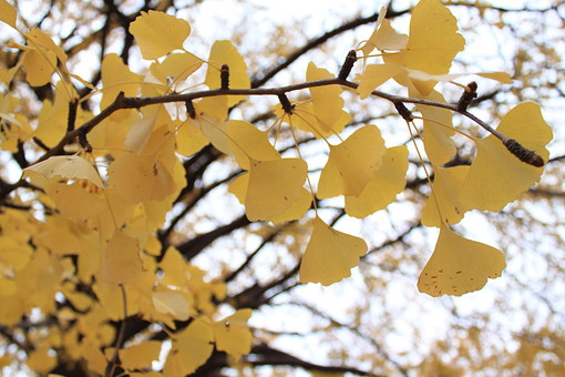イチョウ 銀杏 公孫樹 葉 葉っぱ 紅葉 秋 黄色 初冬 空 曇り 灰色 アップ 植物 自然 臭い 街路樹 公園 散歩 景色 風景 眺める 見物 扇型 アーチ 落ちる 落ち葉 日本