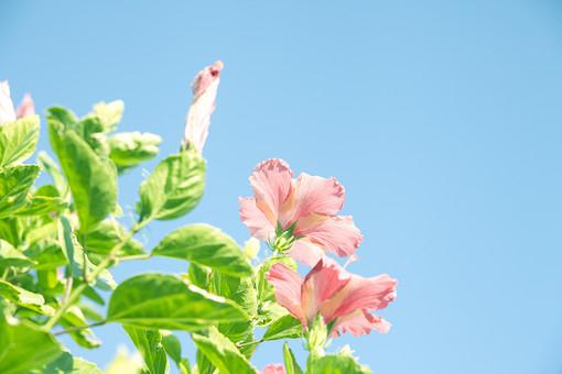 沖縄 ハイビスカス 花 葉 自然 フラワー 8月 夏 ハワイ リゾート 旅行 植物 南国 一日花 ピンク 髪飾り 首飾り 青空 空 アカバナー 亜熱帯 防風林 仏桑花 庭 沖縄市の花 ハワイの州花 スーダンの国花 マレーシアの国花