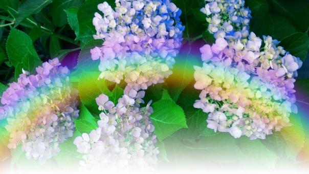 虹 6月 植物 ピンク 赤紫 白 葉 緑 薄紫 梅雨 六月 雨 アジサイ あじさい 紫陽花 きらめき 光 輝き 反射 自然 青 紫 ブルー バック テクスチャ テクスチャー キラキラ きらきら レインボー バックグラウンド 背景素材 背景 花 水滴 初夏 素材 雨上がり