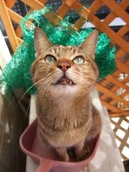 猫 ネコ ねこ CAT 見上げる 目を開けた ちりとり 塵取り ゴミ 掃除 片付け お手伝い 座り込む 家猫 飼い猫 室内猫 ペット かわいい 顔 表情 ベランダ 構ってほしい おもしろい 面白い ちゃこ どうぶつ 動物 生き物 視線 ちり取り