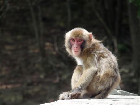 猿 さる サル 申年 日本猿 ニホンザル 干支 年賀 年賀状 動物 生き物 哺乳類 屋外