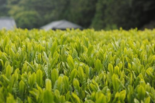 茶畑 新茶 茶 新芽 新緑 5月 里山風景 greentea 茶の芽 新茶の季節 煎茶 日本茶 せん茶 和 芽 農家 八十八夜