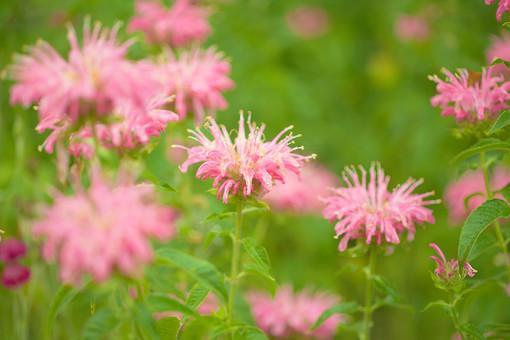ベルガモット 自然 植物 花 花びら めしべ おしべ 花粉 ピンク 桃色 黄色 葉 葉っぱ 茎 緑 密集 集まる 沢山 多い 群生 成長 育つ 満開 開く 開花 咲く 可愛い 綺麗 華やか 綺麗 ぼやける ピンボケ 加工 アップ 無人 室外 屋外 風景 景色