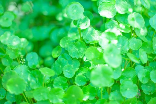 自然 植物 葉 葉っぱ 緑 密集 集まる 沢山 多い 重なる 野生 野草 雑草 成長 育つ ピンボケ ぼやける 加工 無人 室外 屋外 風景 景色 光る 反射 アップ  幻想的