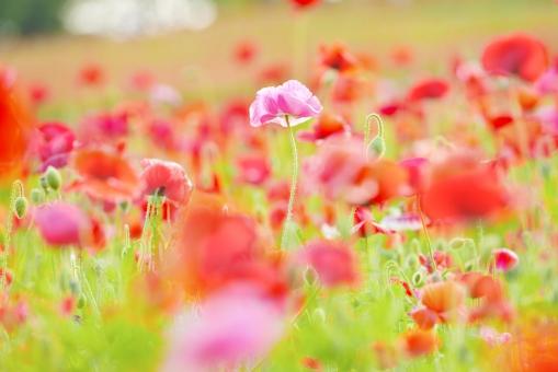 シャーレーポピー ポピー 花 花畑 植物 春 背景素材 テクスチャー テクスチャ グリーン 風景 カラフル 明るい 背景 ピンク 赤 緑