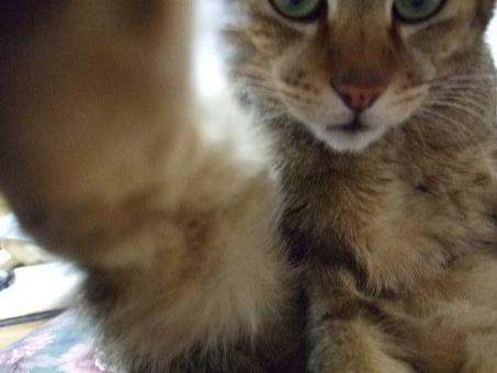 猫 ネコ お断り ダメ NG ポーズ カメラ拒否 顔 目 表情 足 拒絶 鼻 ヒゲ アップ やめて やめろ カメラ目線 見つめる にらむ 睨む かわいい 可愛い ストップ 家猫 飼い猫 室内猫 断る イヤ ちゃこ