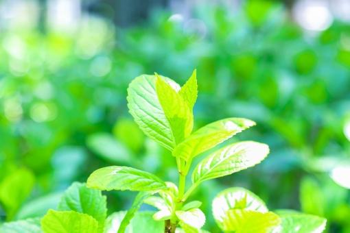 葉 緑 木 新緑 新芽 日本 木の葉 自然 植物 屋外 壁紙 背景 背景素材 バックグラウンド 光  環境 エコ 木漏れ日 こもれび 枝 さわやか 爽やか 初夏 若葉 新芽 芽 芽生え めばえ