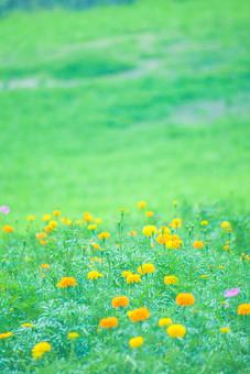 自然 植物 葉 葉っぱ 緑 茎 花 花びら つぼみ 群生 オレンジ色 山吹色 黄色 集まる 密集 多い 沢山 ピンボケ ぼやける 草原 野生 野草 野花 可愛い 綺麗 鮮やか 美しい 風景 景色 無人 屋外 室外 成長 育つ 伸びる 咲く 満開 開く 幻想的