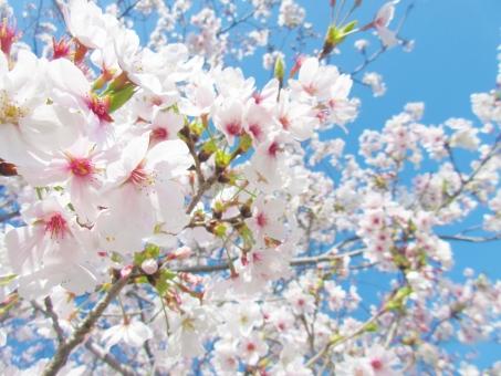 春、満開の桜 さくら サクラの写真