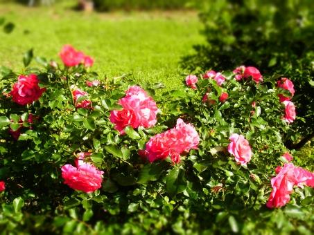 バラ 薔薇 ピンク 緑 初夏 夏 トイカメラ風 庭 ガーデン 花 植物