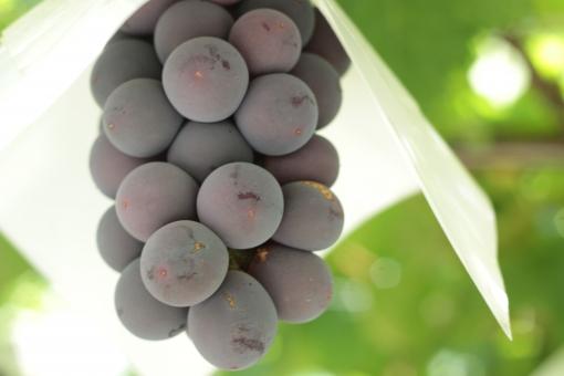 果物 フルーツ グレープ むらさき 巨峰 ピオーネ ブドウの木 甘い 自然 風景 季節 夏 さわやか