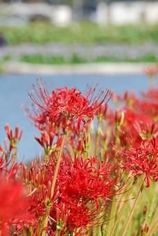 自然 風景 環境 植物 花 草花 観葉 手入れ 栽培 世話 水やり 植える 育てる ベランダ 庭 林 公園 花壇 癒し 咲く 開花 成長 土 観察 アップ たくさん きれい 美しい かわいい 彼岸花 曼珠沙華