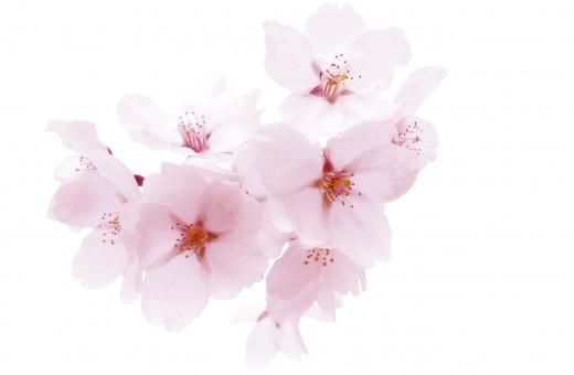 桜4・PSD切り抜きの写真