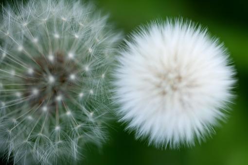 自然・風景 植物 花 タンポポ たんぽぽの綿毛 種子 春 春イメージ 白い種子 寄り添う綿毛 風に吹かれて 旅立ちイメージ かわいい もふもふ 柔らかいイメージ 光を浴びて 待ち受け画面 ポストカード コピースペース 背景 野外アウトドア 野原 野山 野生 自生 たくましい 新緑 若葉 新芽 季節の変わり目
