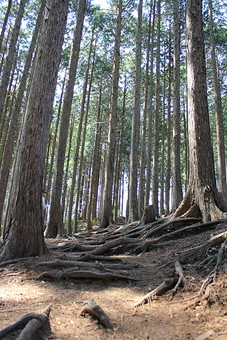 日本 国内 関東 神奈川県 関東山地 観光地 登山道 登山 山登り 山 トレッキング ハイキング 森林浴 アウトドア 野外 自然 風景 植物 樹木 木立 林 森林 スギ 杉 スギ林 杉林 針葉樹林 木の根 根 根上がり 地面 土 高木
