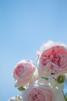 植物 葉っぱ リーフ  花 花びら 花弁 被子植物 フラワー  自然 ナチュラル ネイチャー バラ 薔薇 ローズ 5月 6月 ブライダルピンク 愛している 愛 美 青空 お空 空 蒼穹 蒼空 晴天 ブルースカイ 青い ブルー