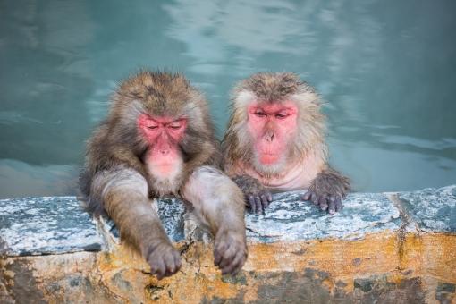 仲良し 哺乳類 可愛い 干支 日本 猿 温泉 お風呂 お湯 湯 サル 申年 モンキー 恍惚 ニホンザル 霊長類 類人猿 ヒト科 申 猿人 気持ち良い 2016年 ド物