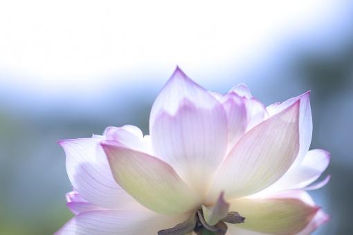 自然 植物 花 はす ハス 夏の花 初夏 夏 五月・六月・七月の花 お盆 盆 盆休み 夏休み 仏さま 梅雨明け 季節感 暑中見舞い ポストカード 待ち受け画像 背景 テクスチャー 光を浴びて 光溢れる 光透過光 コピースペース バックスペース 野外アウトドア 池に咲く花 湖に咲く花 水に咲く花 庭園 庭 沼 エコ・環境 夏の風物詩 日本の夏