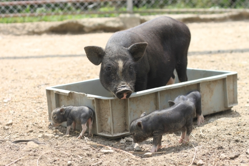 豚 ブタ 黒ブタ 黒豚 親子 仔豚 子ブタ 仔ブタ 水浴び 牧場