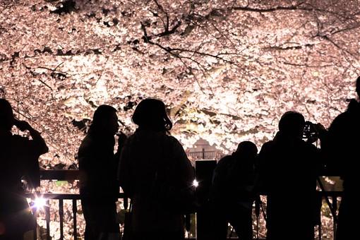 桜 春 花 フラワー さくら サクラ ピンク 桃色 満開 風景 自然 屋外 木 枝 花びら 樹木 樹 幹 植物 開花 季節 四季 日本 景色 花見 並木道 夜桜 夜景 夜 シルエット 人物