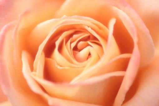 花びら 光 パステルカラー キラキラ 夏 コーラル オレンジ 太陽 園芸 花壇 天気 風景 おめでとう バックグラウンド フラワー 爽やか happy birthday 背景デザイン 自然 ナチュラル 幸せ ブーケ 春 薔薇 バラ ばら 花束 プレゼント フラワーアレンジ 入学 贈り物 ギフト お祝い 結婚 母の日 誕生日 ウェディング カード メッセージ バースディカード 背景 壁紙 花 植物 卒業 初夏 5月 記念日 メッセージカード 可愛い かわいい 優しい ソフト やわらかい バレンタイン バレンタインデー ホワイトデー 背景素材 素材 ピンク rose rosa ローズ