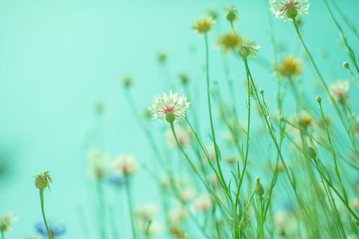 自然 植物 花 花びら つぼみ しぼむ 枯れる 小花 集まる 沢山 密集 多い 成長 育つ 咲く 開花 開く ローアングル ぼやける ピンボケ 加工 アップ 空 青空 天気 晴天 晴れ 無人 室外 屋外 風景 景色 幻想的 ヤグルマソウ 矢車草