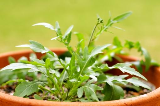セルバチコ ハーブ イタリア料理 イタリアン イタリアンハーブ ルッコラ 胡麻の味 鉢植え 園芸 菜園 キッチンガーデン
