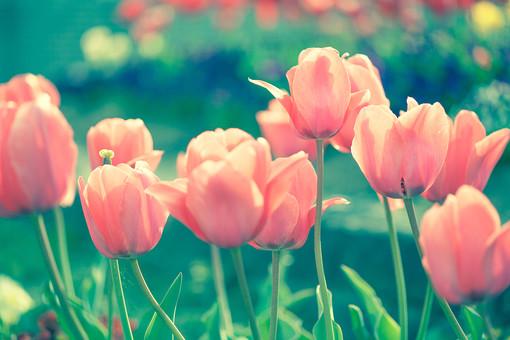 自然 植物 花 花びら ピンク色 桃色 茎 葉 葉っぱ 緑 カラフル 可愛い 鮮やか 綺麗 華やか 美しい 成長 育つ 伸びる 開く 開花 満開 咲く ピンボケ ぼやける 無人 風景 景色 屋外 室外 見頃 見物 幻想的