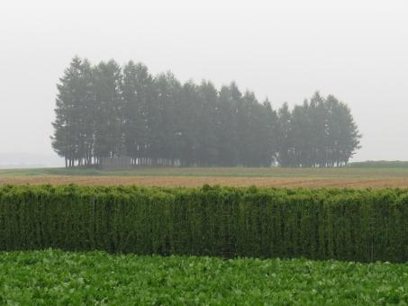 防風林 ながいも ナガイモ エゾマツ 霧 濃霧