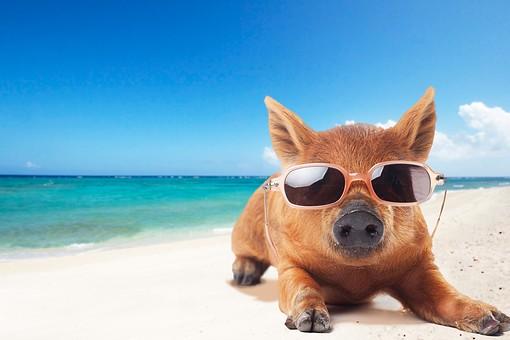 ポーズ 動物 生物 生き物 哺乳類 ほ乳類 いのしし イノシシ 猪 うり坊 ウリ坊 子供 子ども こども 十二支 干支 亥 伏せる 座る かわいい 可愛い サングラス 海 ビーチ 砂浜 バカンス 日光浴 南国 夏 カメラ目線