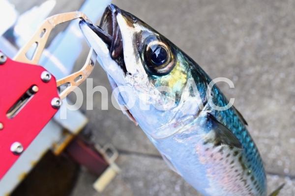 【魚・釣り】鯖の写真