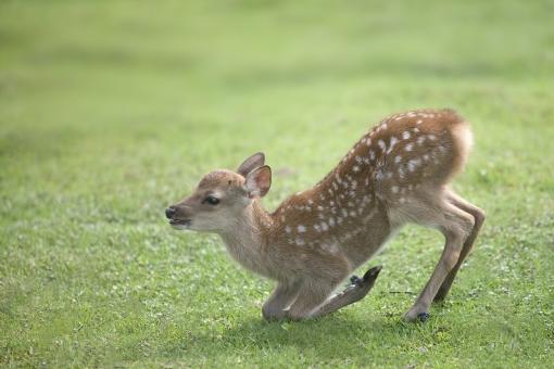 自然・風景 生き物 鹿 小鹿 こじか バンビ グリーンバック かわいい 初々しい 幼い ごあいさつ よろしくね 初めまして おもてなし ようこそ いらっしゃいませ こんにちわ 若草色 春イメージ 初夏イメージ 観光 休暇 待ち受け画面 ポストカード コピースペース