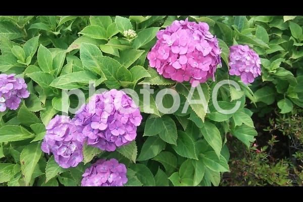 紫の紫陽花の写真