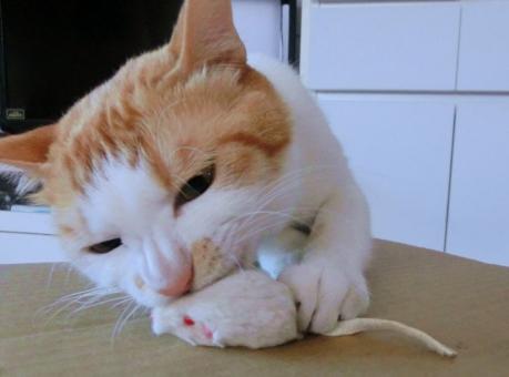猫 ねこ ネコ ねずみ ネズミ おもちゃ ねずみのおもちゃ 噛みつく キャッチ 猫の手 白 茶 ピンクの鼻 飼い猫 家ネコ 家猫 遊び 捕まえる ヒゲ 白いひげ 動物 白いねずみ 猫のおもちゃ 真剣 眼差し 本能 にゃらん 愛猫 ゲット 捕獲
