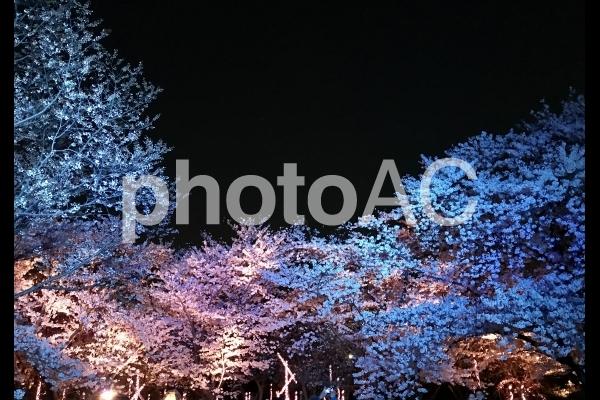 夜桜 さくら ライトアップの写真