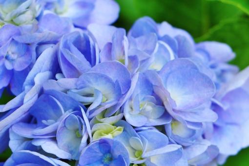 紫陽花 花 植物 紫 紫色 パープル 薄紫 青紫 梅雨 花びら 風景 背景 壁紙 鮮やか 艶やか 大輪 初夏 公園 神社 お寺