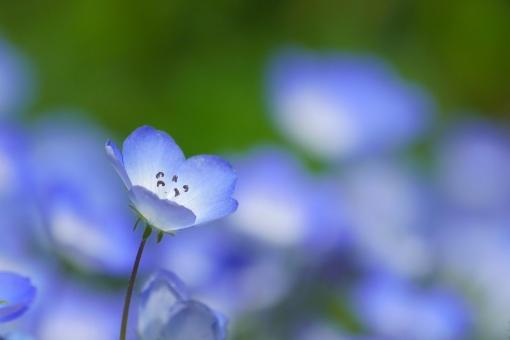ネモフィラ ブルー 青 集中 夏 春 清潔 知性 落ち着き イメージ クール 涼しげ 涼 涼しい ひんやり 爽やか 花 草花 知的 冷静 幻想的 ロマンチック ガーリー さわやか 小花 青い花 背景 壁紙 自然 群生 初夏 4月 5月