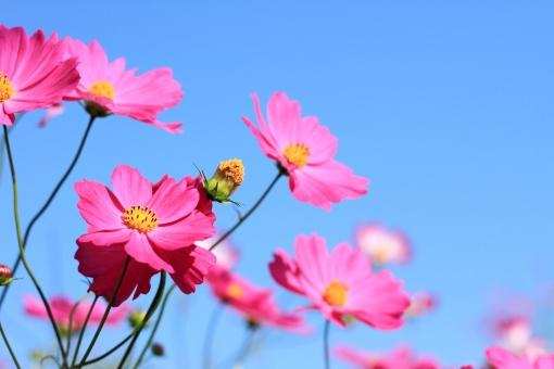 ピンクの秋桜の写真