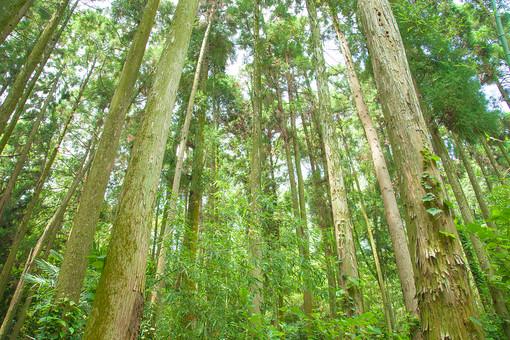 自然 植物 木 樹木 林 森 森林 山 鬱蒼 沢山 集まる 密集 多い ローアングル アップ 成長 育つ 伸びる 葉 葉っぱ 緑 幹 枝 茶色 枯れる 高い そびえる 山奥 無人 風景 景色 屋外 室外