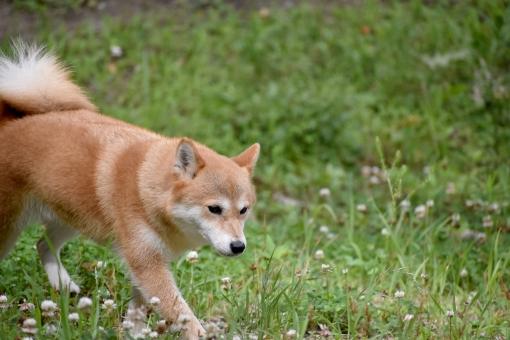 柴犬・歩くの写真
