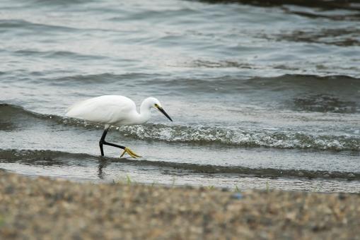 野鳥 コサギ 白鷺の写真
