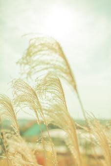 自然 植物 ススキ すすき 秋 アップ 空 雲 陽射し 光 太陽 太陽光 白い 曇り 天気 ぼやける ピンボケ 枯れる 茶色 加工 無人 室外 屋外 風景 景色 成長 育つ 多い 密集 集まる 沢山  幻想的