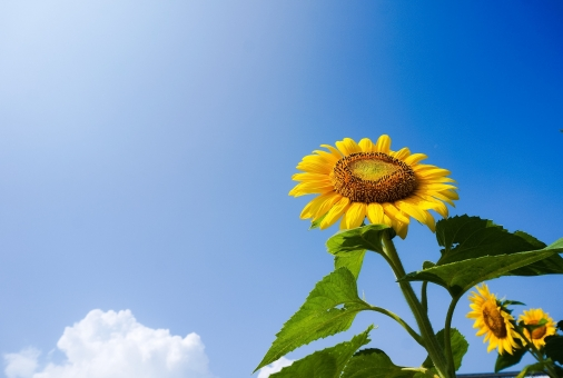 ひまわり 向日葵 ヒマワリ 花 植物 背景 背景素材 壁紙 壁紙素材 バック バックグラウンド ナチュラル 風景 青空 空 景色 夏空 夏 グラデーション スカイブルー sky sunflower flower 黄色 太陽 白い雲 雲 葉 緑 爽やか 元気 パワー エネルギッシュ 上を向く 残暑 残暑見舞 ひまわりの種 ひまわり油 自然 コピースペース 真夏 8月 八月 夏休み summer 花びら 背が高い 盛夏 暑中見舞 暑中お見舞い 花図鑑 自由研究