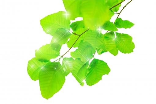 ブナ ぶな 山毛欅 山毛欅林 ブナ林 ぶな林 葉っぱ 木の葉 木葉 はっぱ 木の枝 小枝 自然 風景 木 樹木 森 植物 緑 グリーン エコ エコロジー 環境 eco eco eco 森林 森林浴 森林セラピー 癒し いやし リラックス リラクゼーション やすらぎ 安らぎ 葉 マイナスイオン 健康 美容 ワンポイント 切り抜き きりぬき 背景白 パス マスク クリッピングパス アクセント 飾り 5月 夏 緑 春 初夏 癒し きらめき キラメキ 優しさ やさしい 優しい キラキラ イメージ