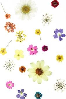 押し花 花 ドライフラワー 小花 植物 白バック 背景 背景素材 美しい かわいい 繊細な  並んだ 黄色 白 オレンジ 紺 ピンク 赤 複数 華やかな 散らばった 鮮やかな カラフルな
