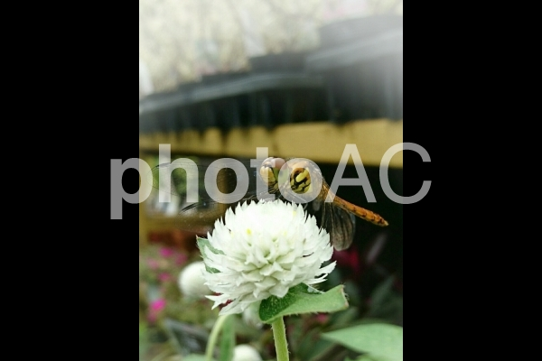 トンボと花の写真