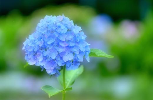 紫陽花 アジサイ あじさい 初夏 6月 六月 梅雨